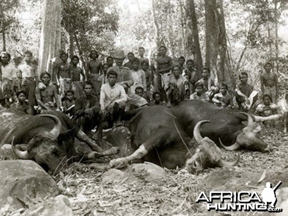 Hunting Gaur, Indian Bison