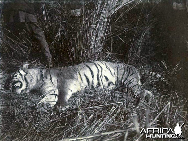 Slain tiger. There were a total of 39 tigers killed during this hunt.
