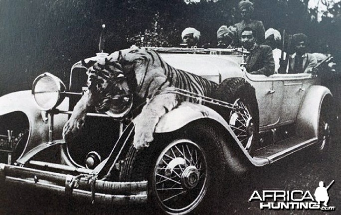 Tiger and Rolls Royces, Narsingh, India