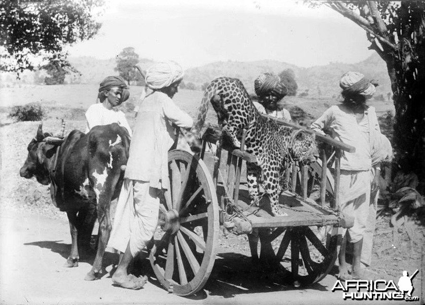Leopard perhaps used for hunting, India 1922