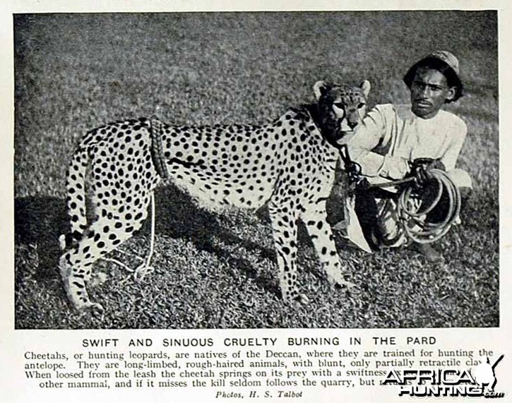 Hunting with Cheetahs, India 1920