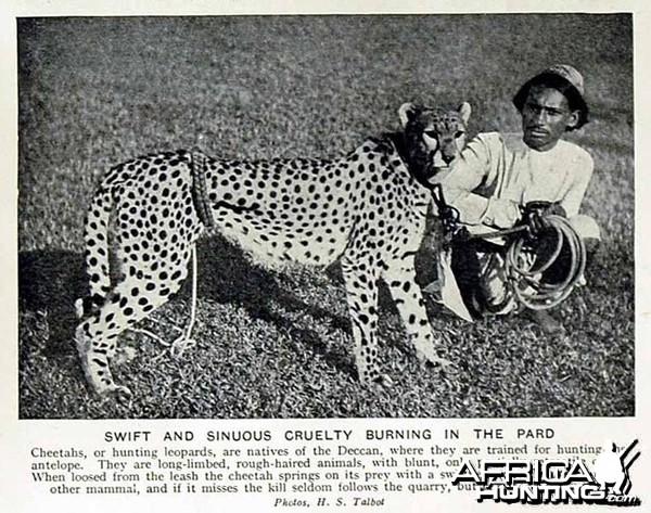Hunting with Cheetahs, India 1920