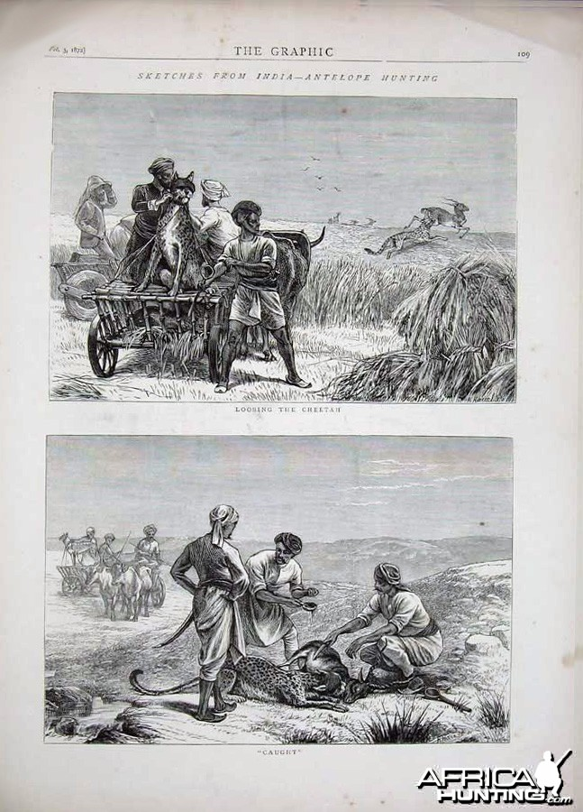 Antelope Hunting with Cheetahs, India 1872