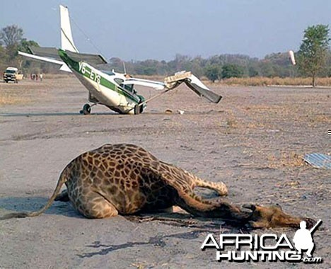 Giraffe Killed on Landing