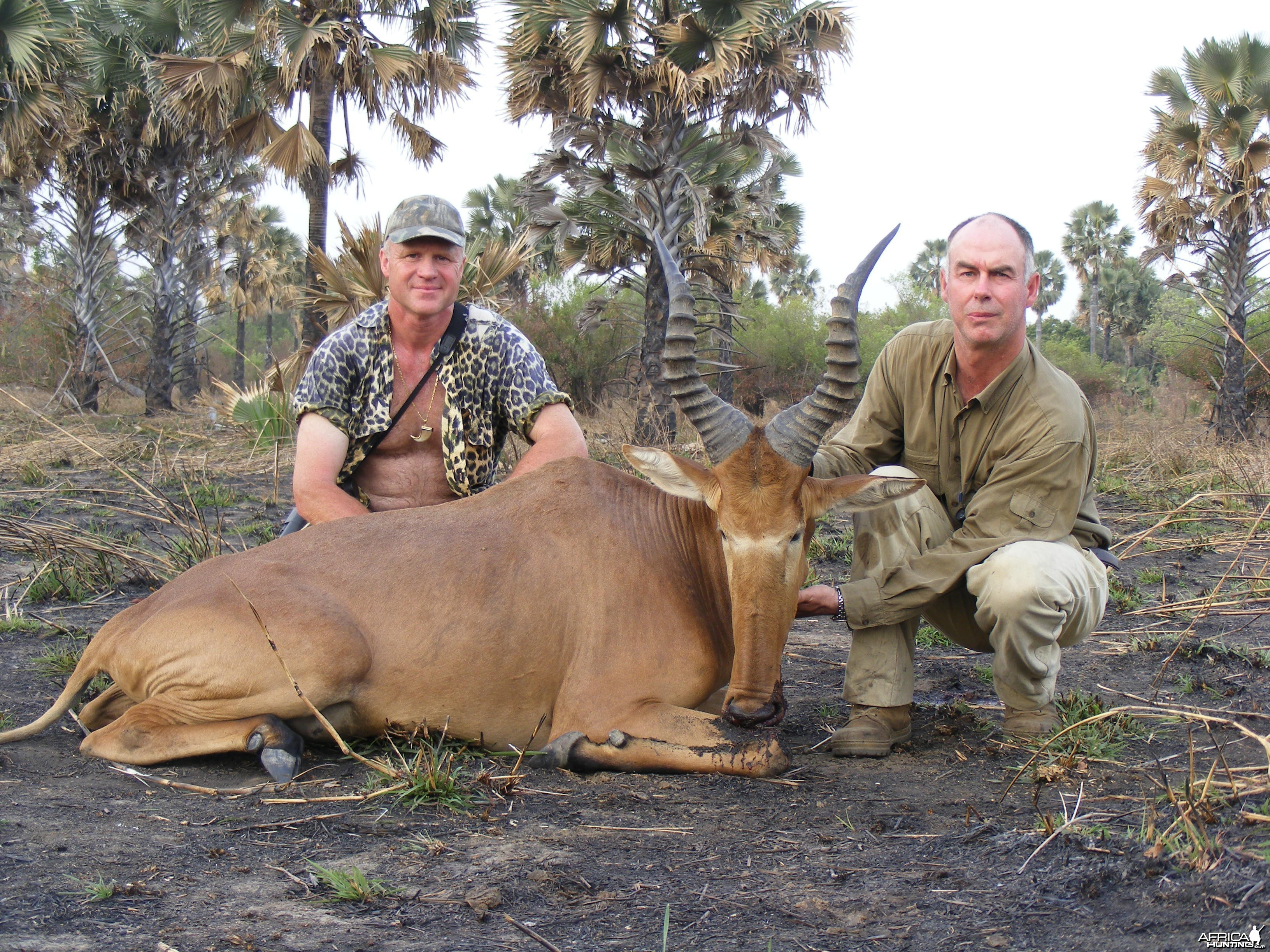 Very big western hartebeest