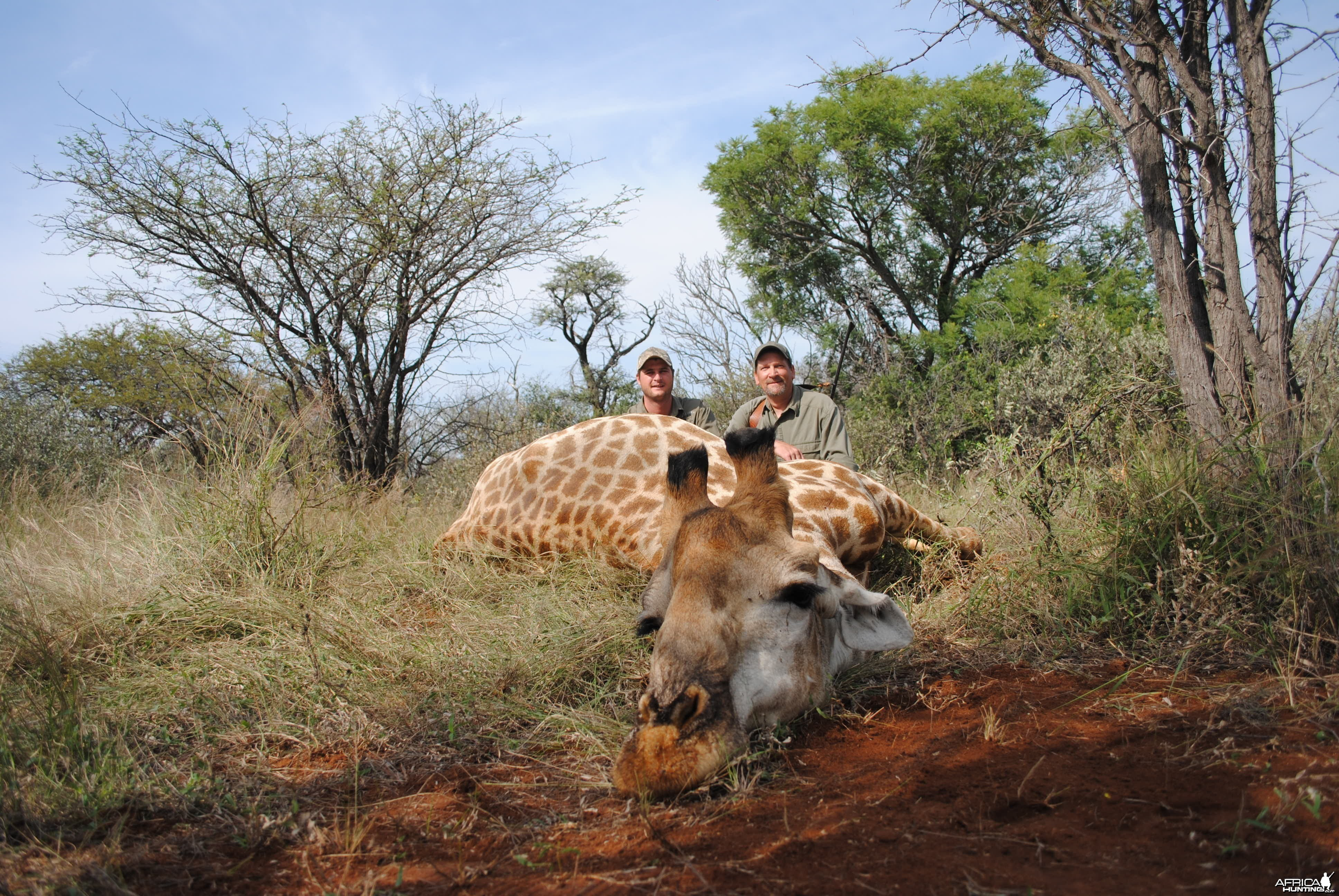 Giraffe bull hunt South Africa