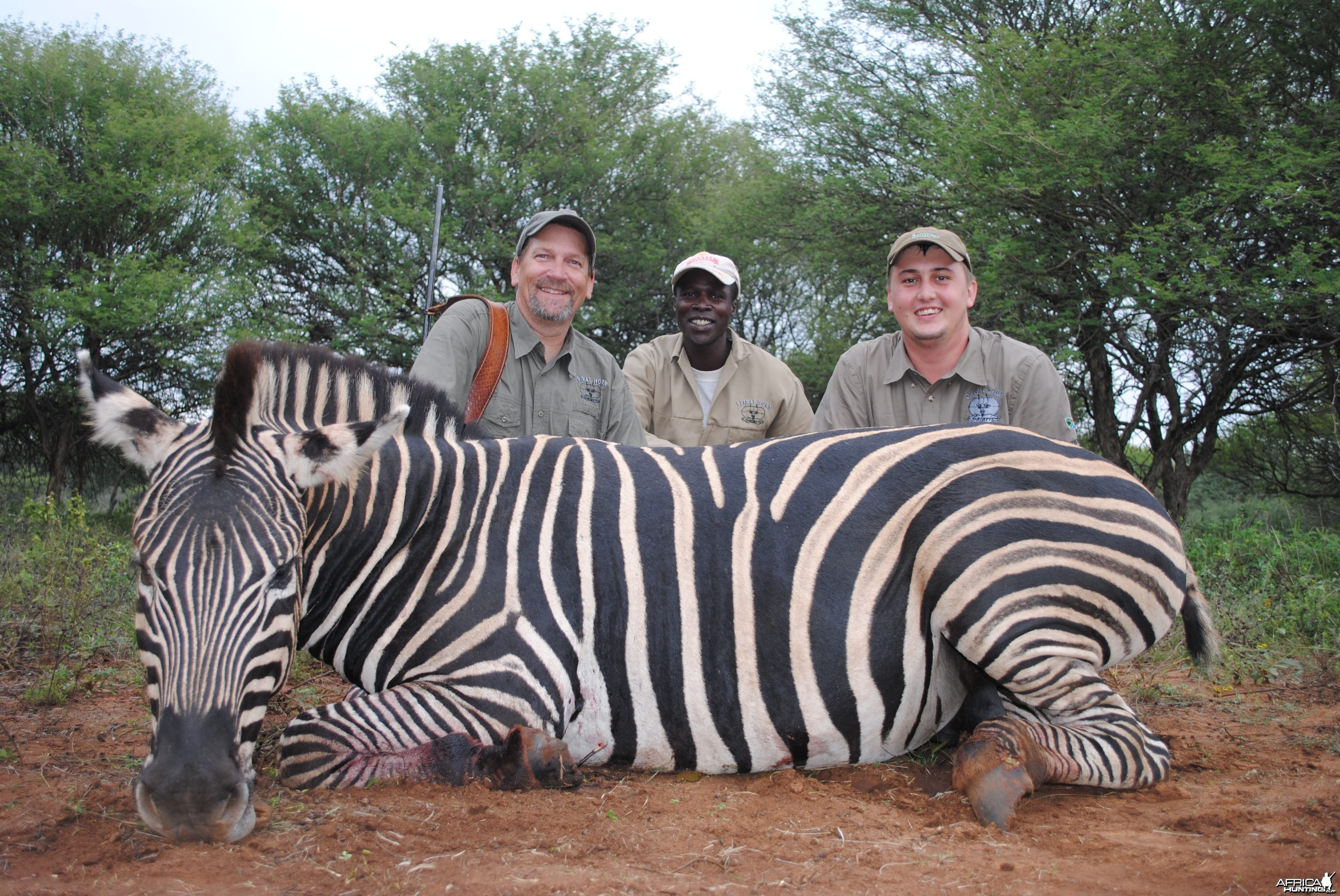 Burchells Zebra hunt Spiral Horn Safaris, South Africa