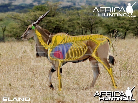 Hunting Eland Shot Placement