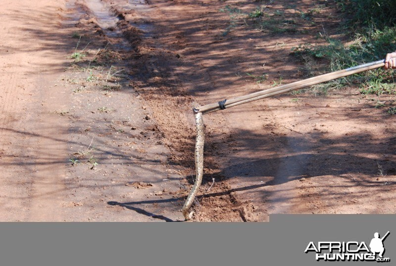 Puff adder in Limpopo South Africa