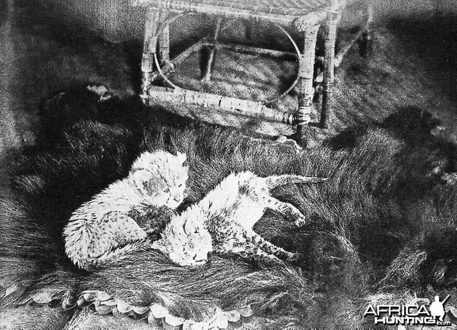 Asiatic Cheetah cubs - India, 1897