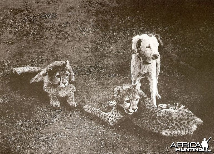 Cheetah cubs with dog -  India, 1897