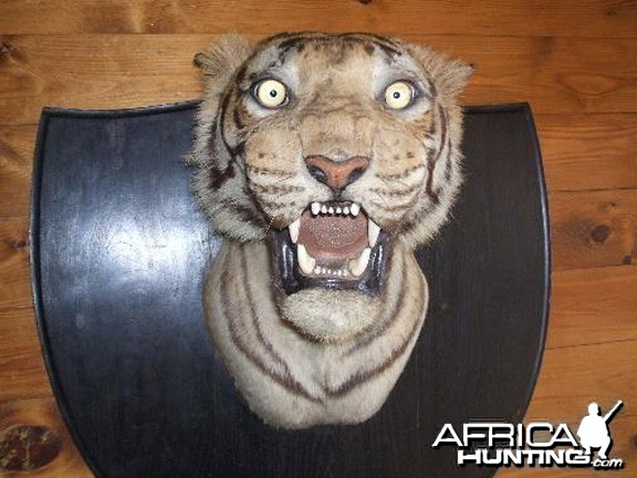 Taxidermist Van Ingen & Van Ingen Tiger Head