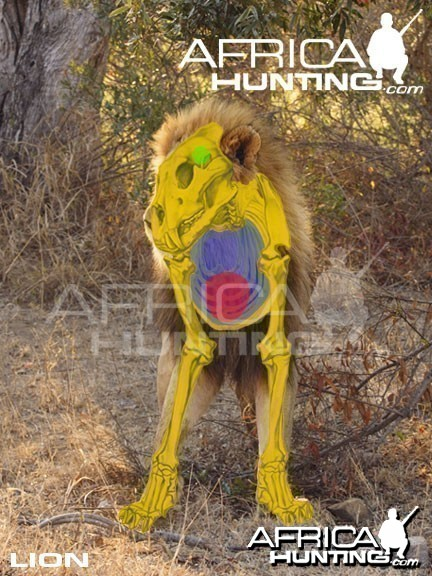Hunting Lion Front View Shot Placement