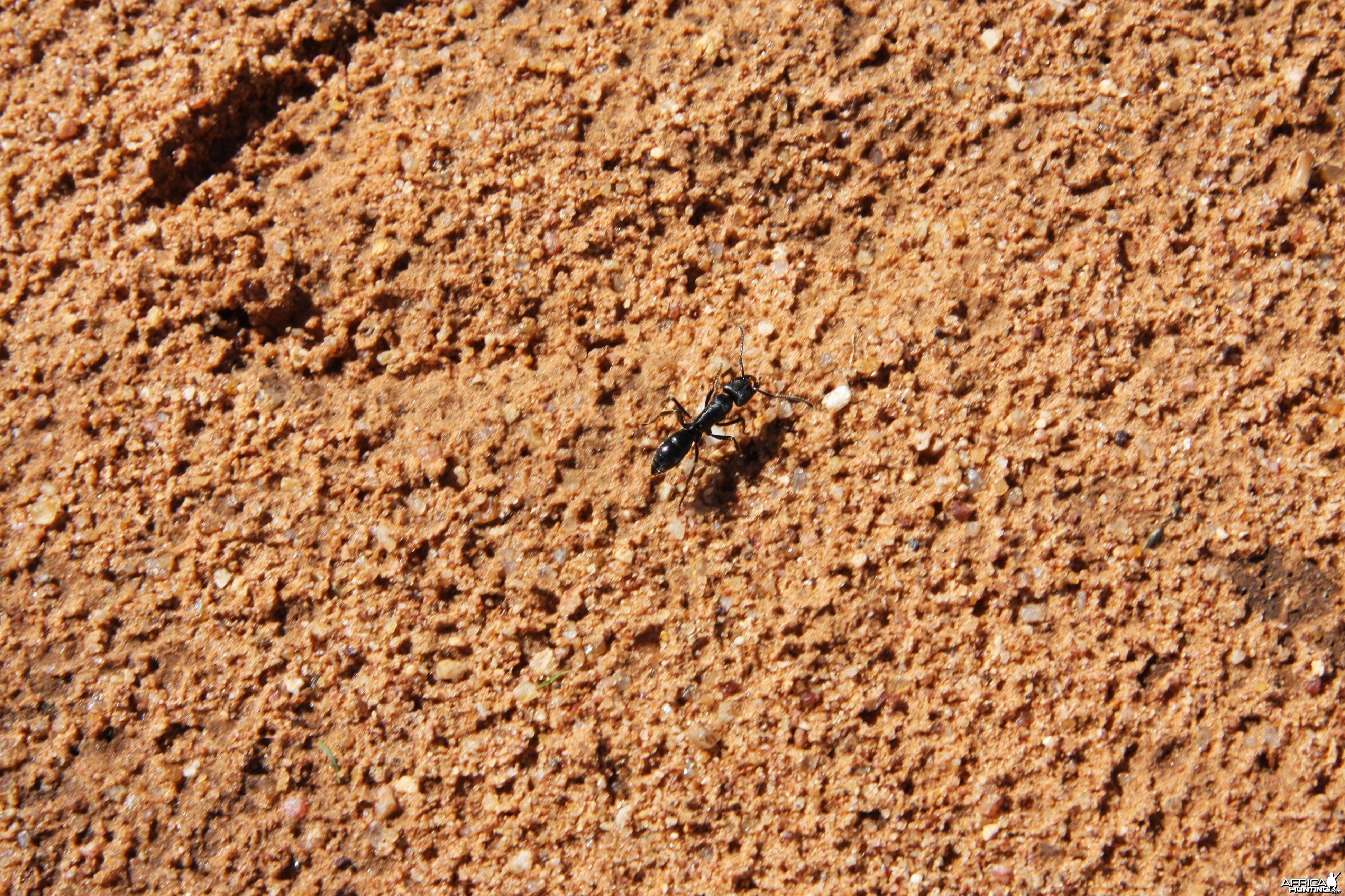 Ant Namibia