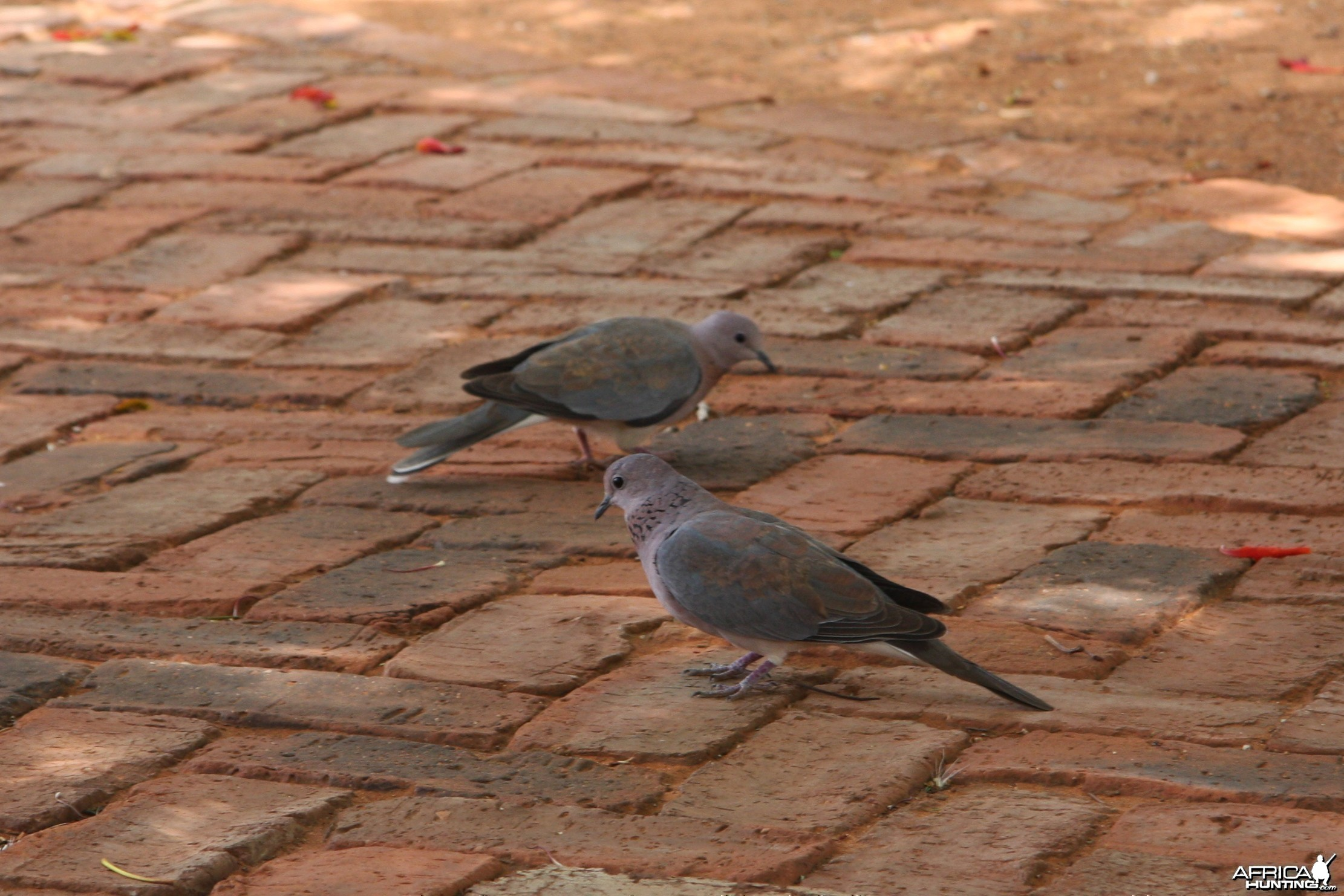 Doves Namibia