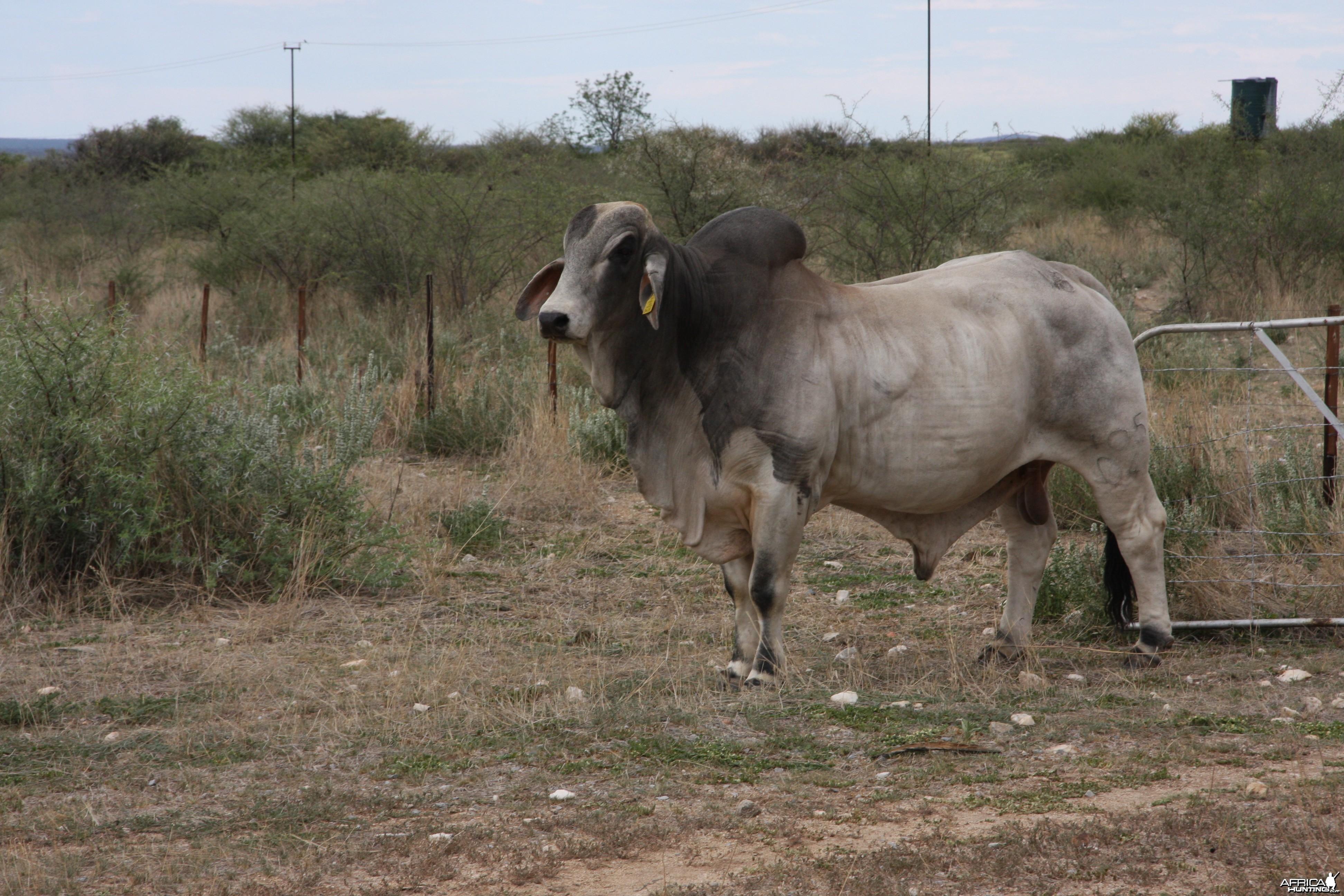 Brahman Bull Namibia