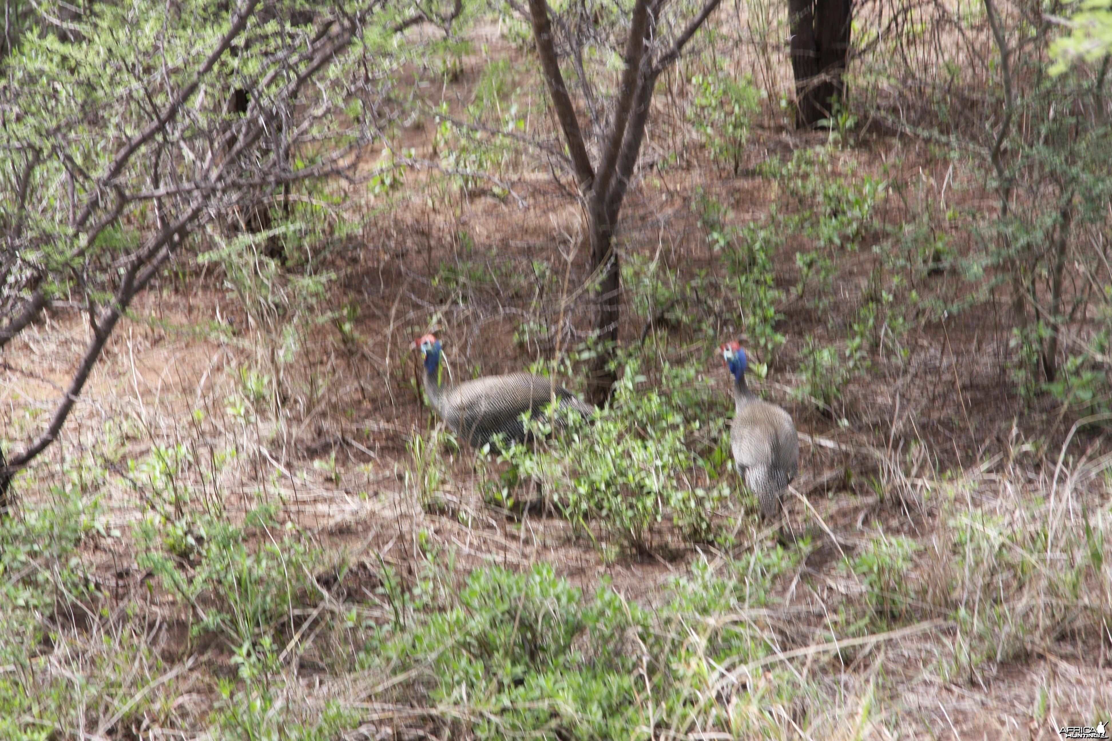 Guinea Fowl Namibia