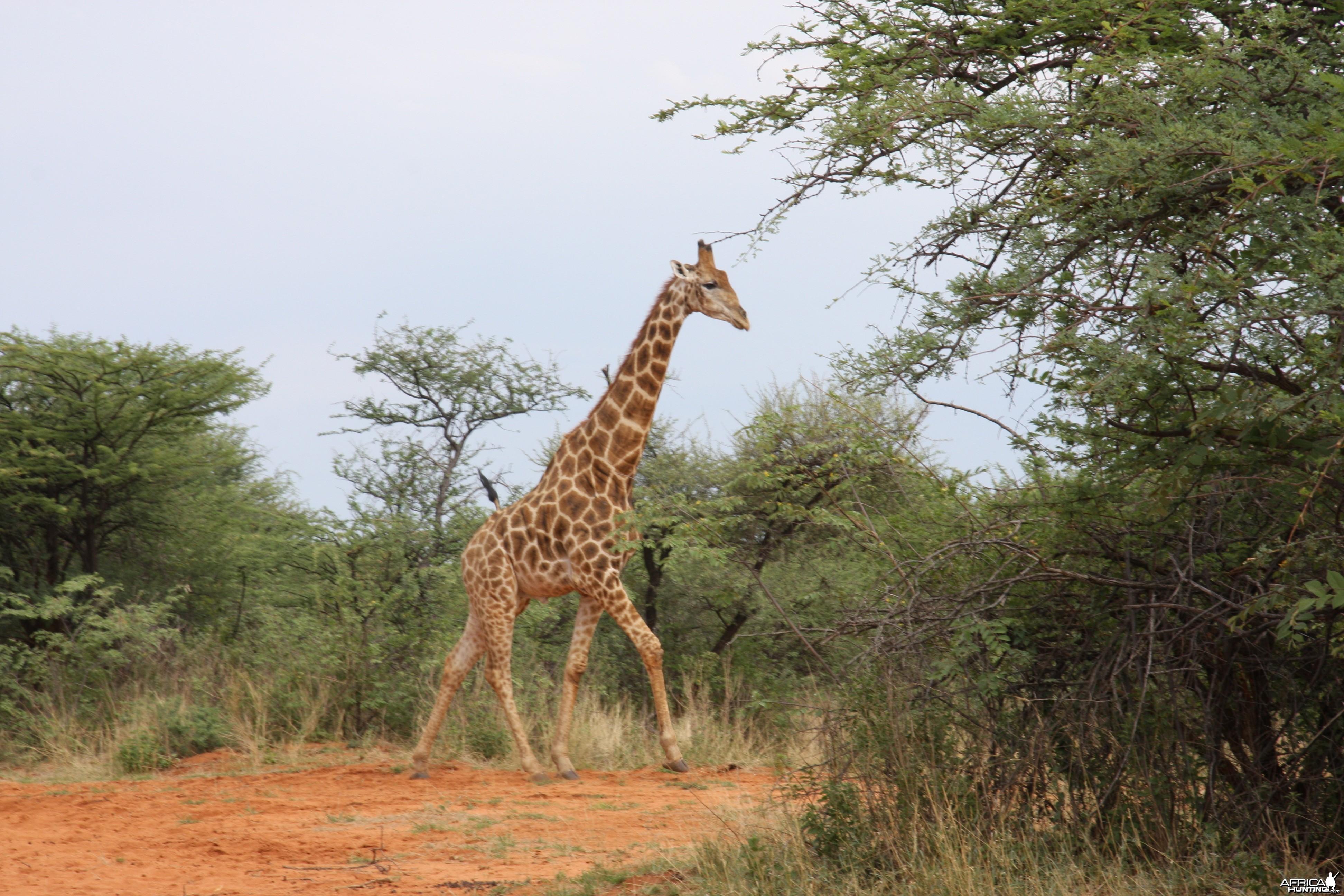 Giraffe bull Namibia