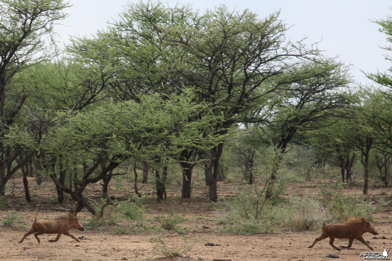 Warthogs Namibia