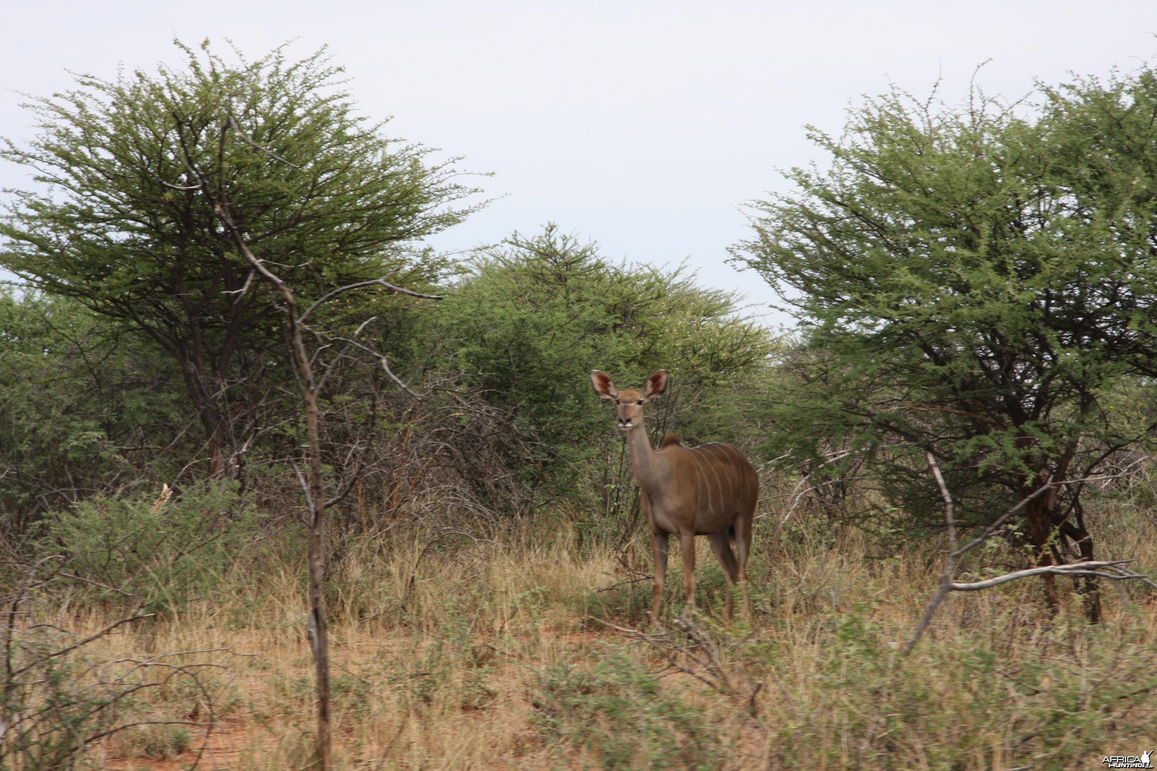Kudu cow Namibia
