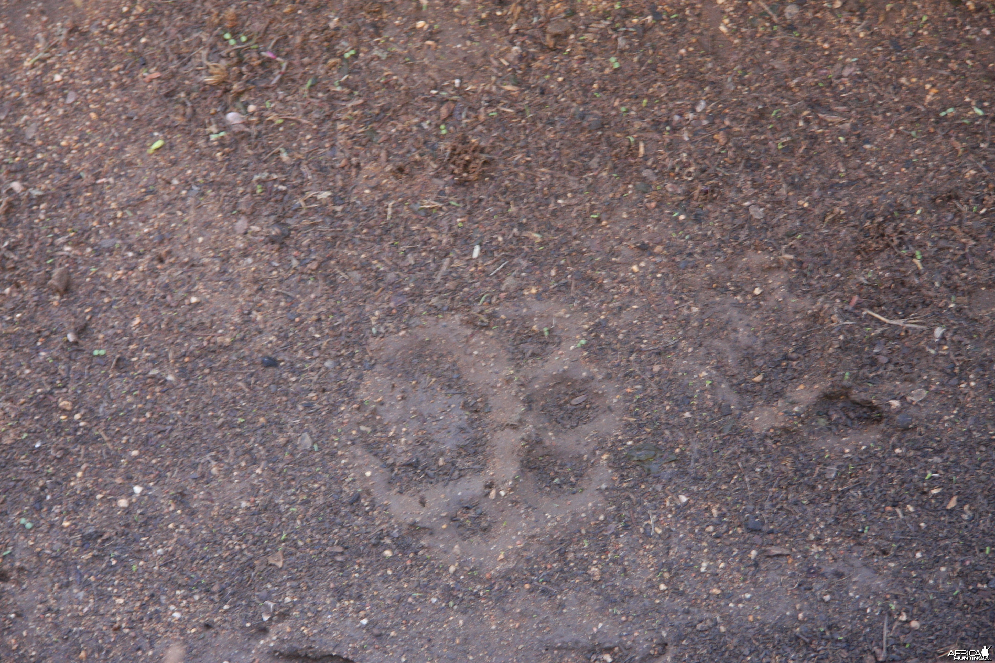 Leopard tracks after the rain Namibia