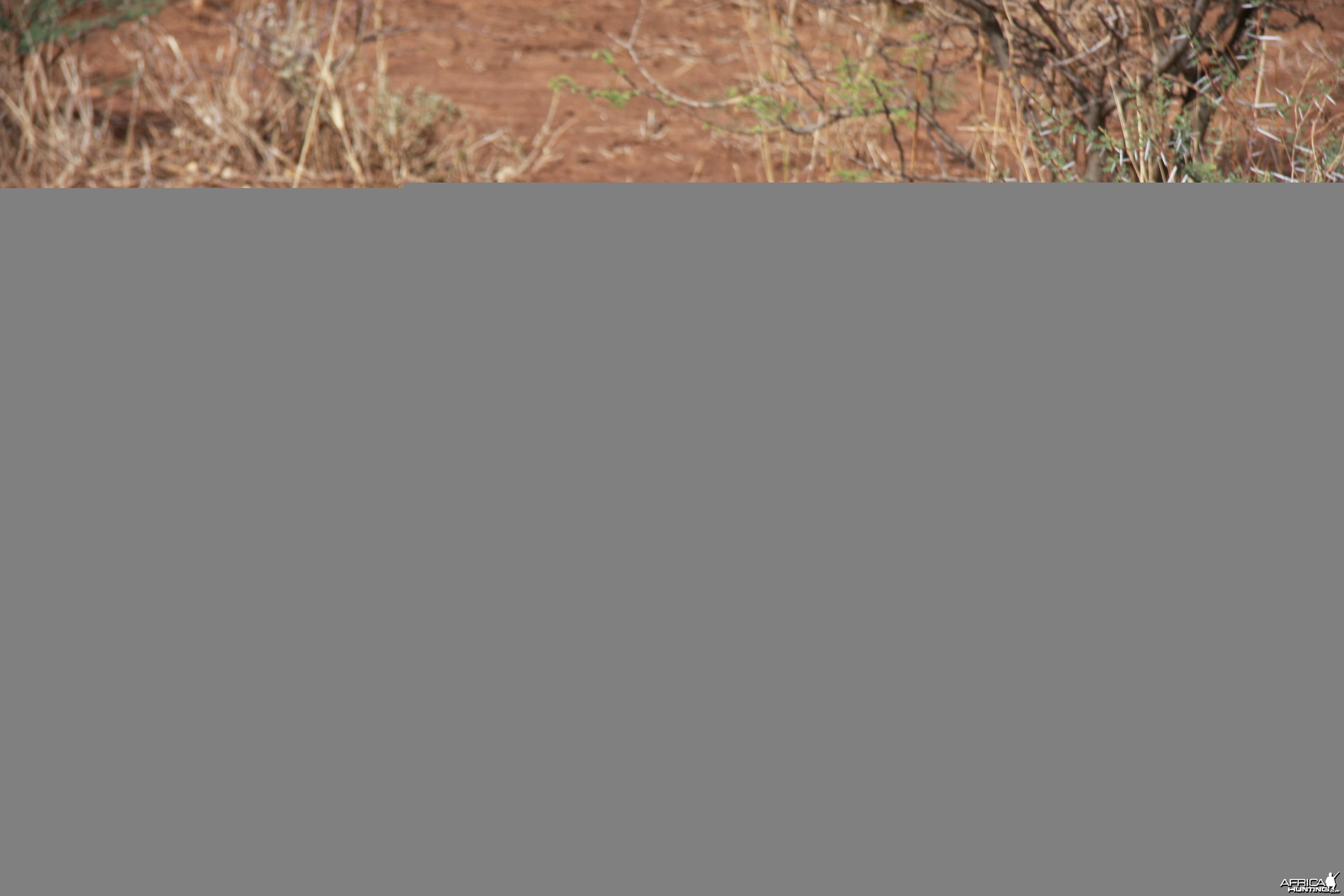 Monitor Lizard Namibia