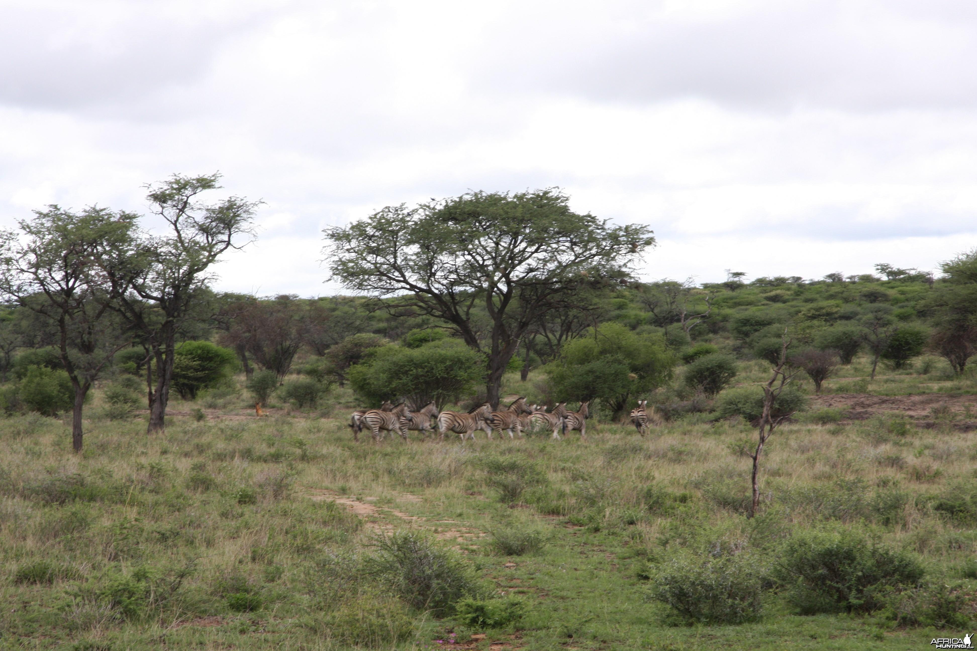 Burchell's Zebra Harem Namibia