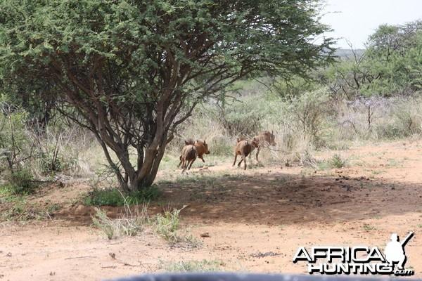 Hunting Warthogs