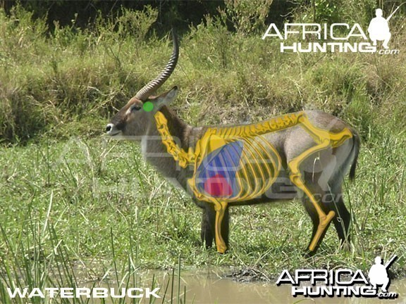 Hunting Waterbuck Shot Placement