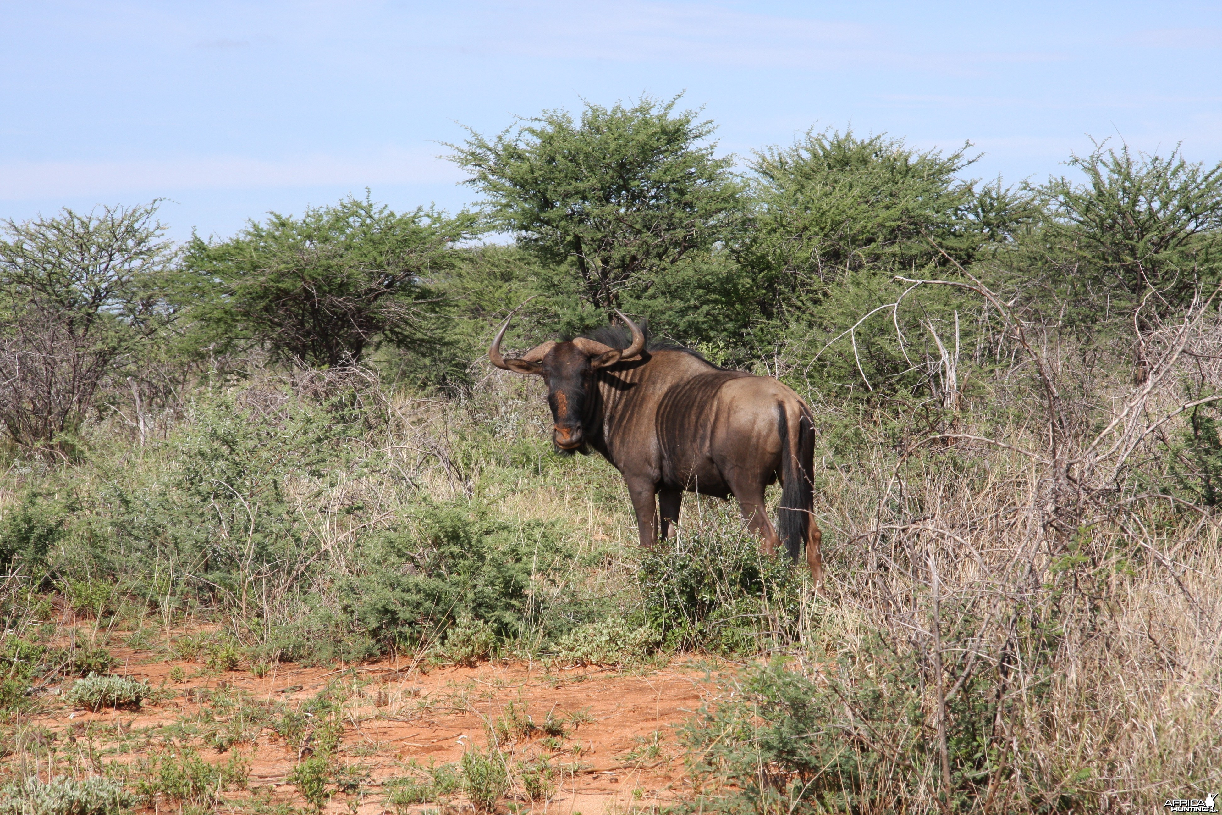 hunting-blue-wildebeest4