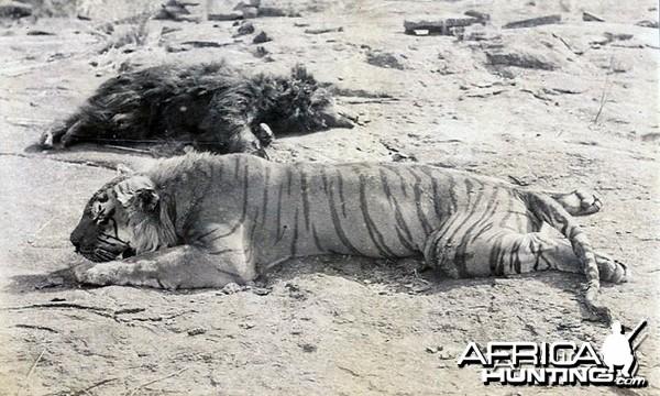 Bear and Tiger hunt India