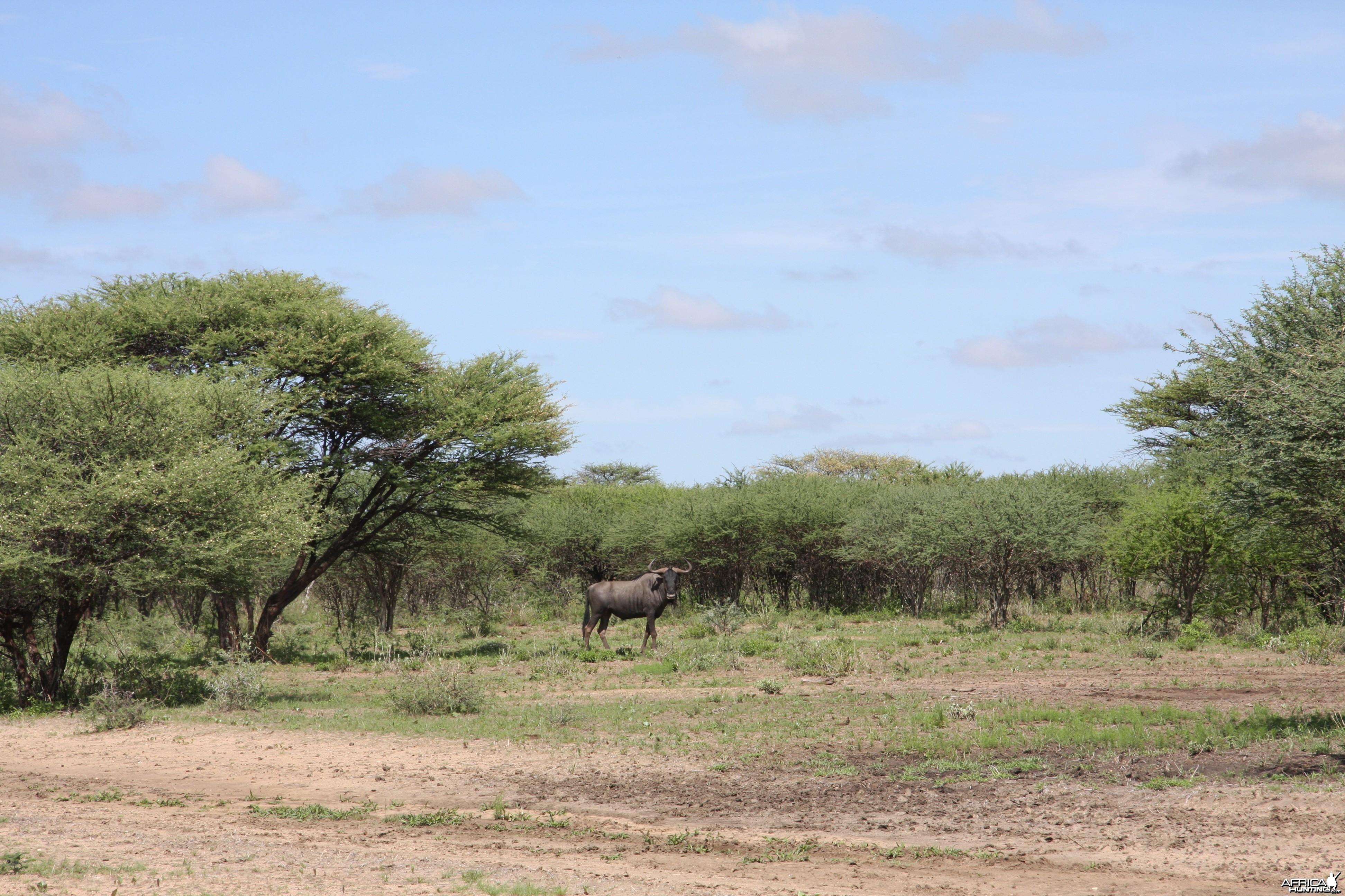 Blue Wildebeest Bull Namibia