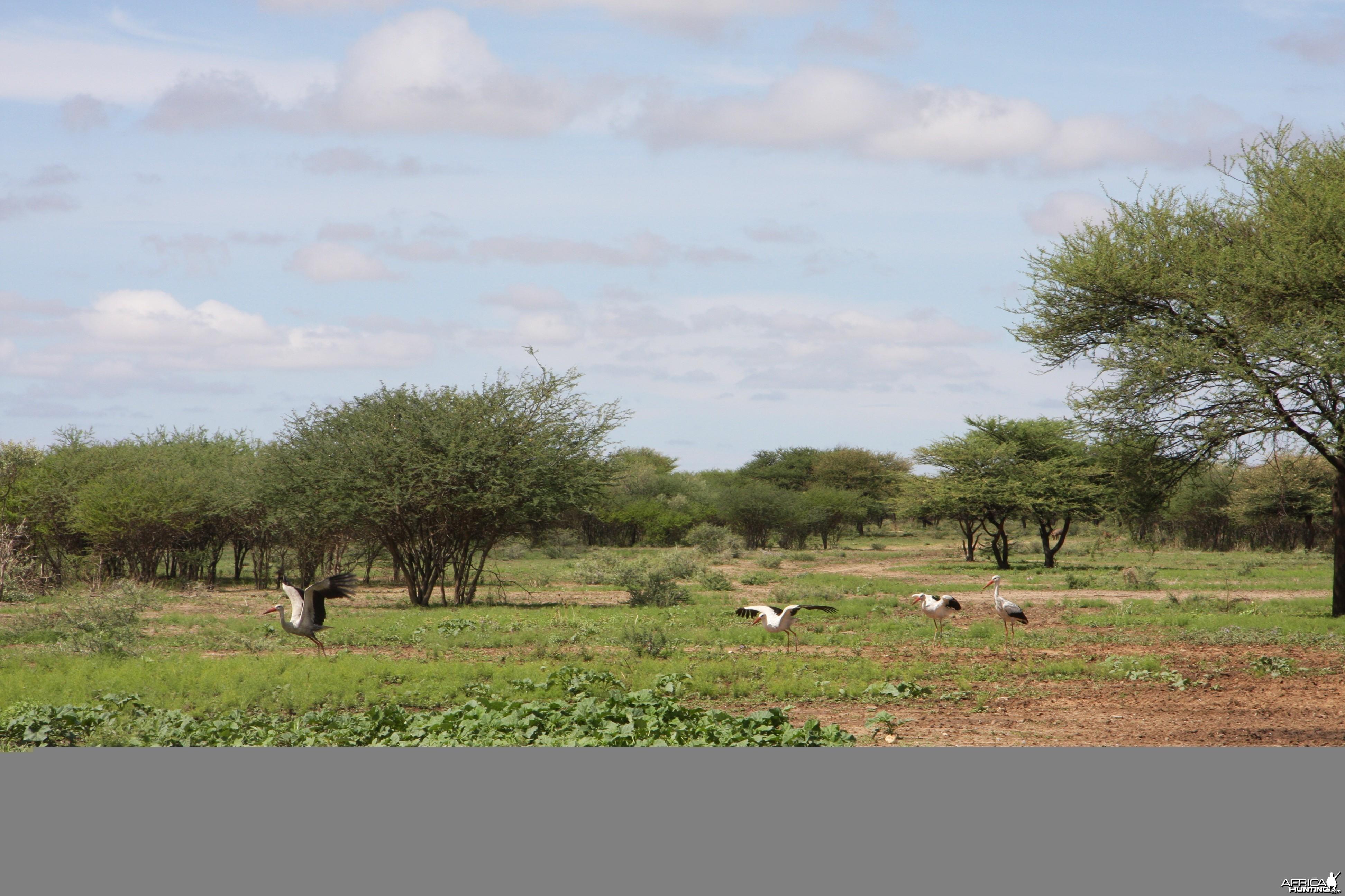 White Storks Namibia
