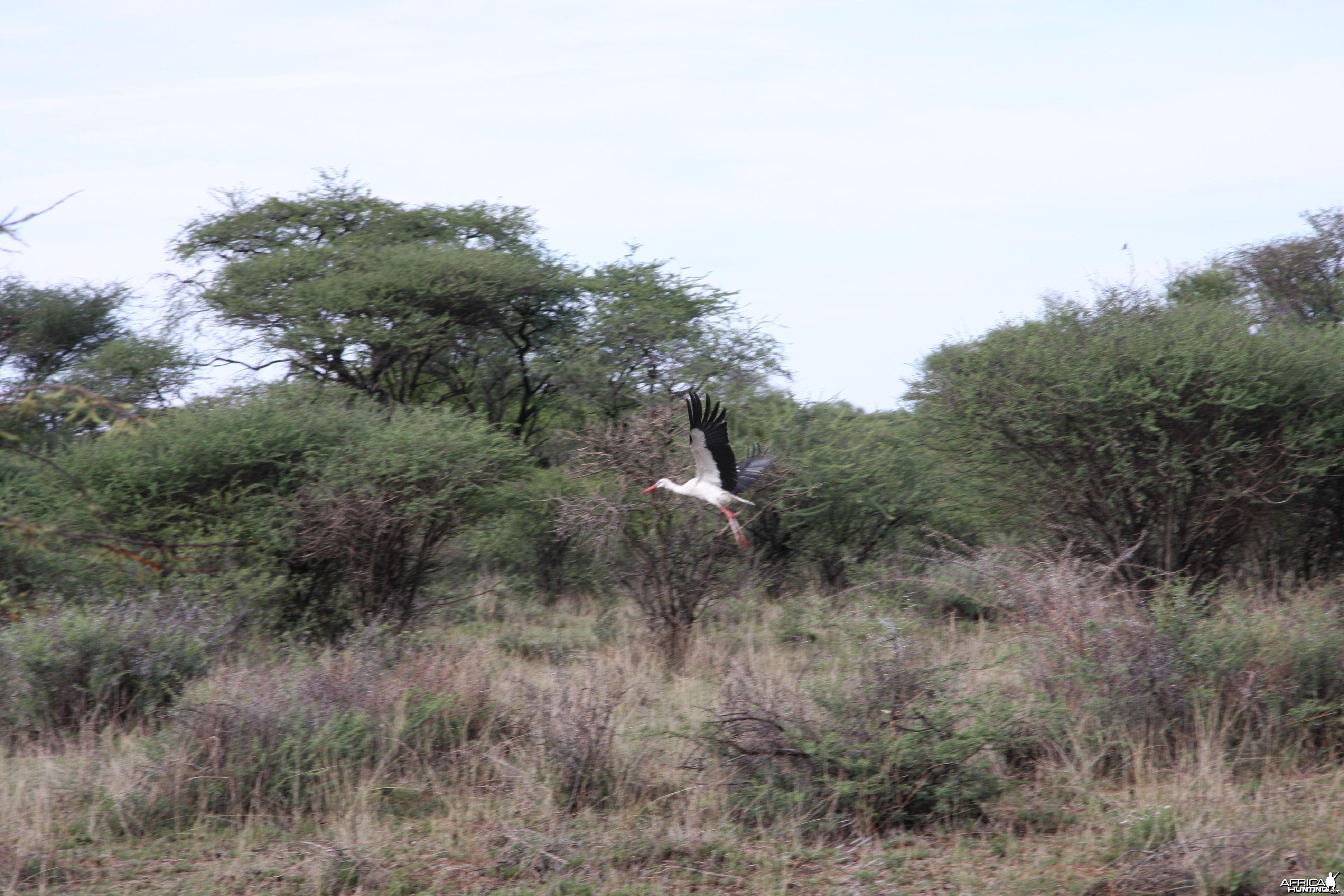 White Stork Namibia