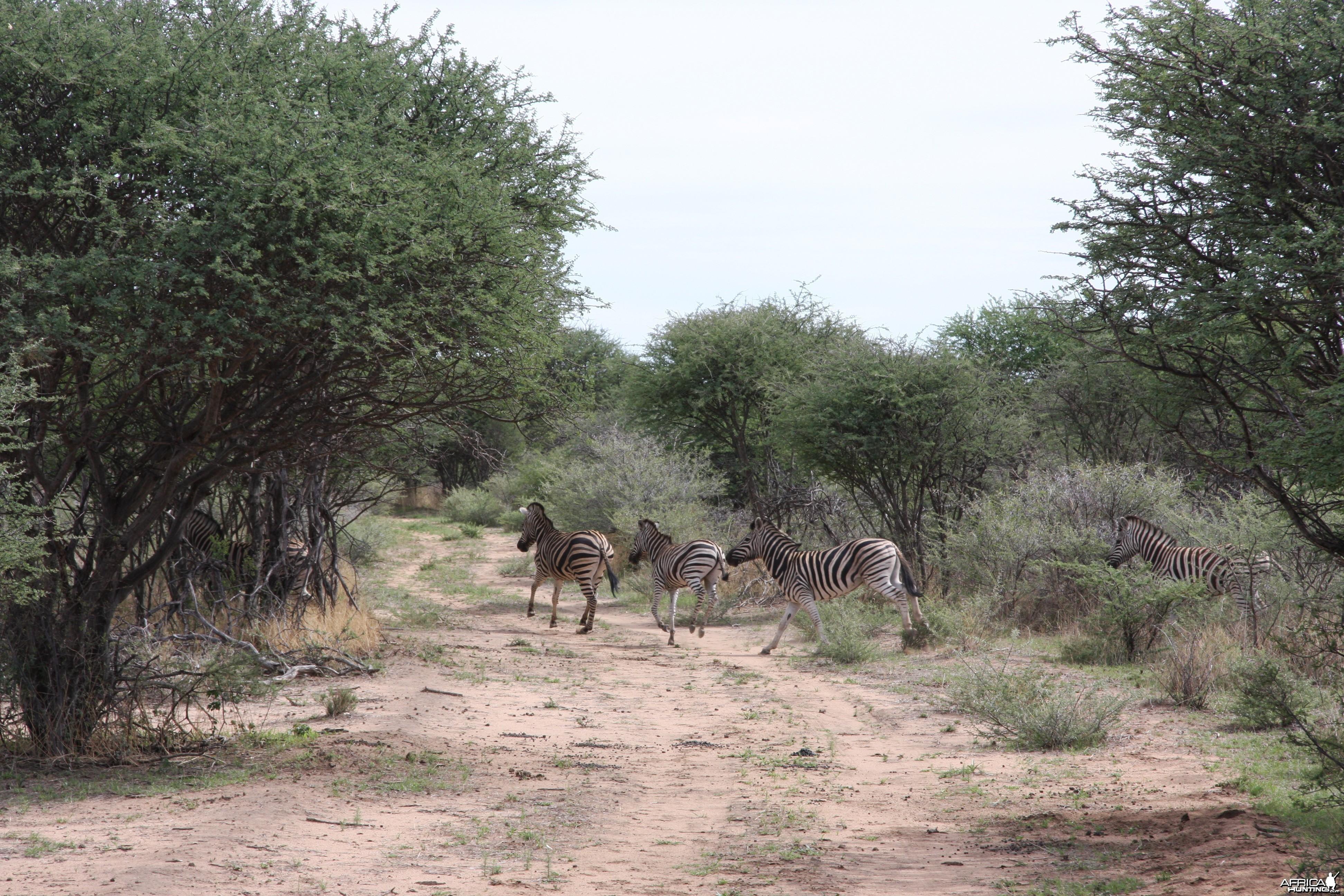 Burchell's Zebras Namibia