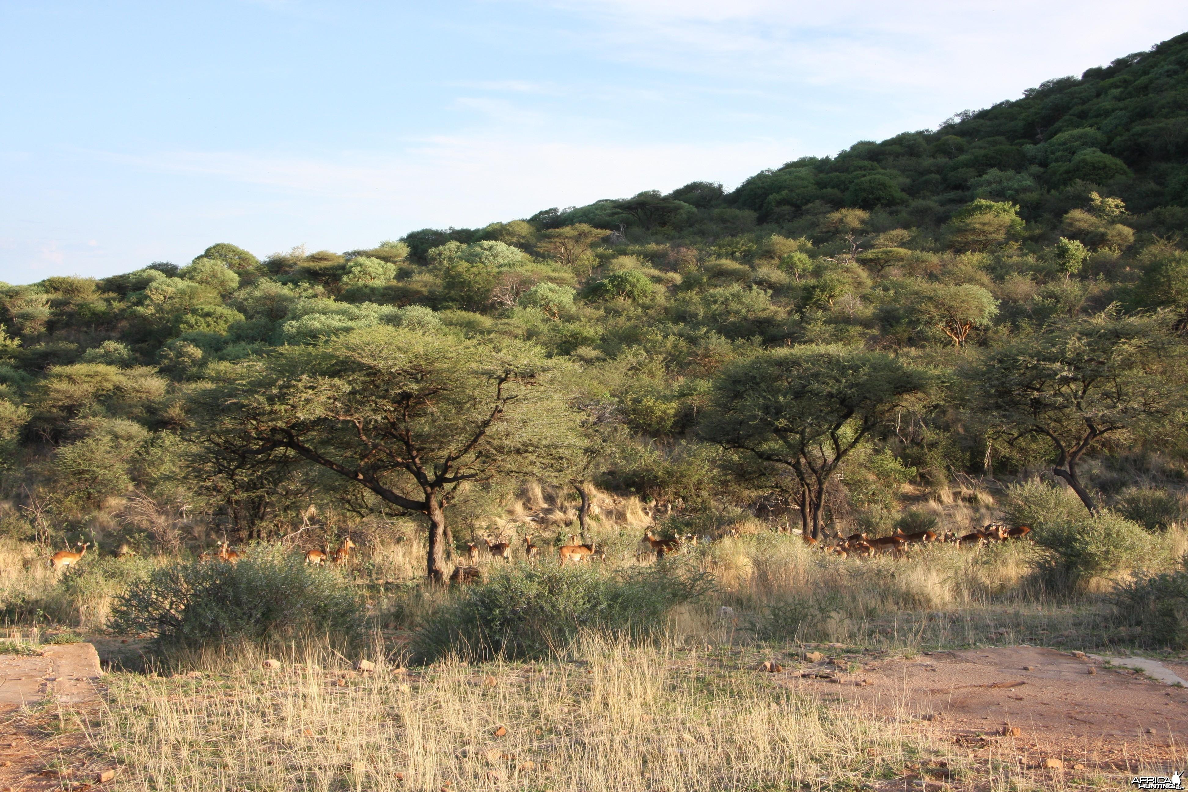 Impala Namibia