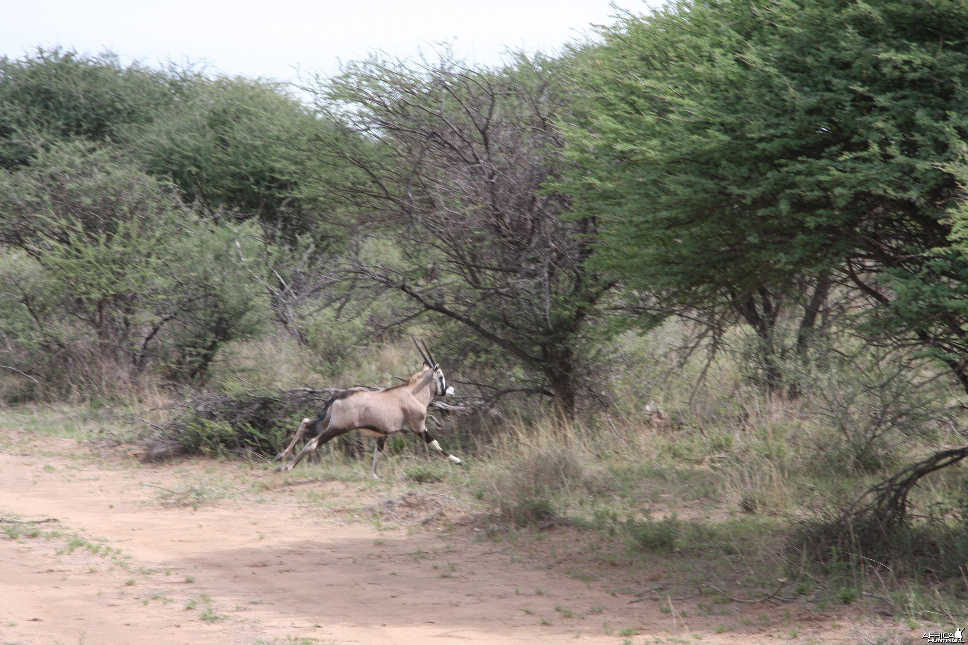 Young Gemsbok Namibia
