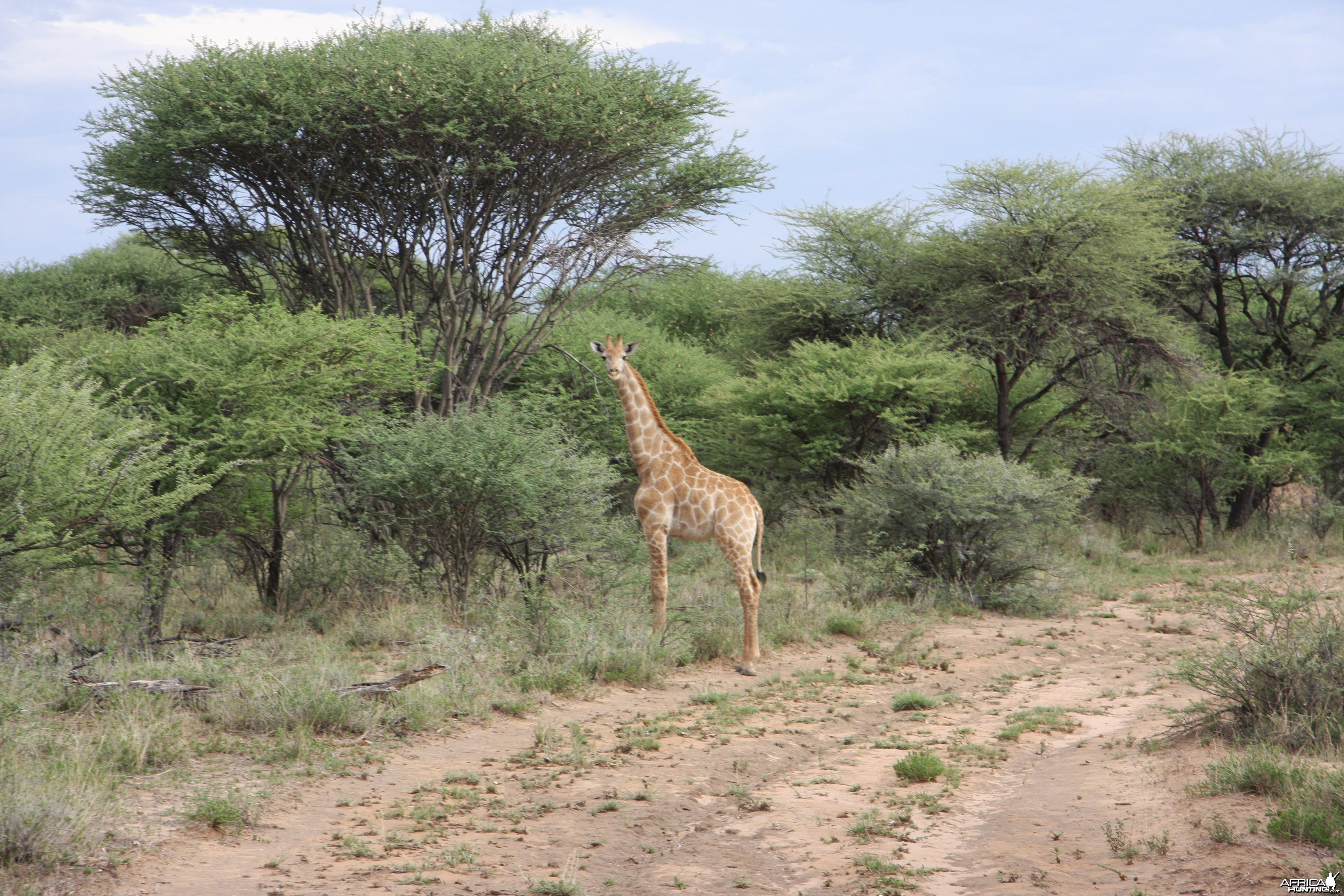 Young Giraffe Namibia