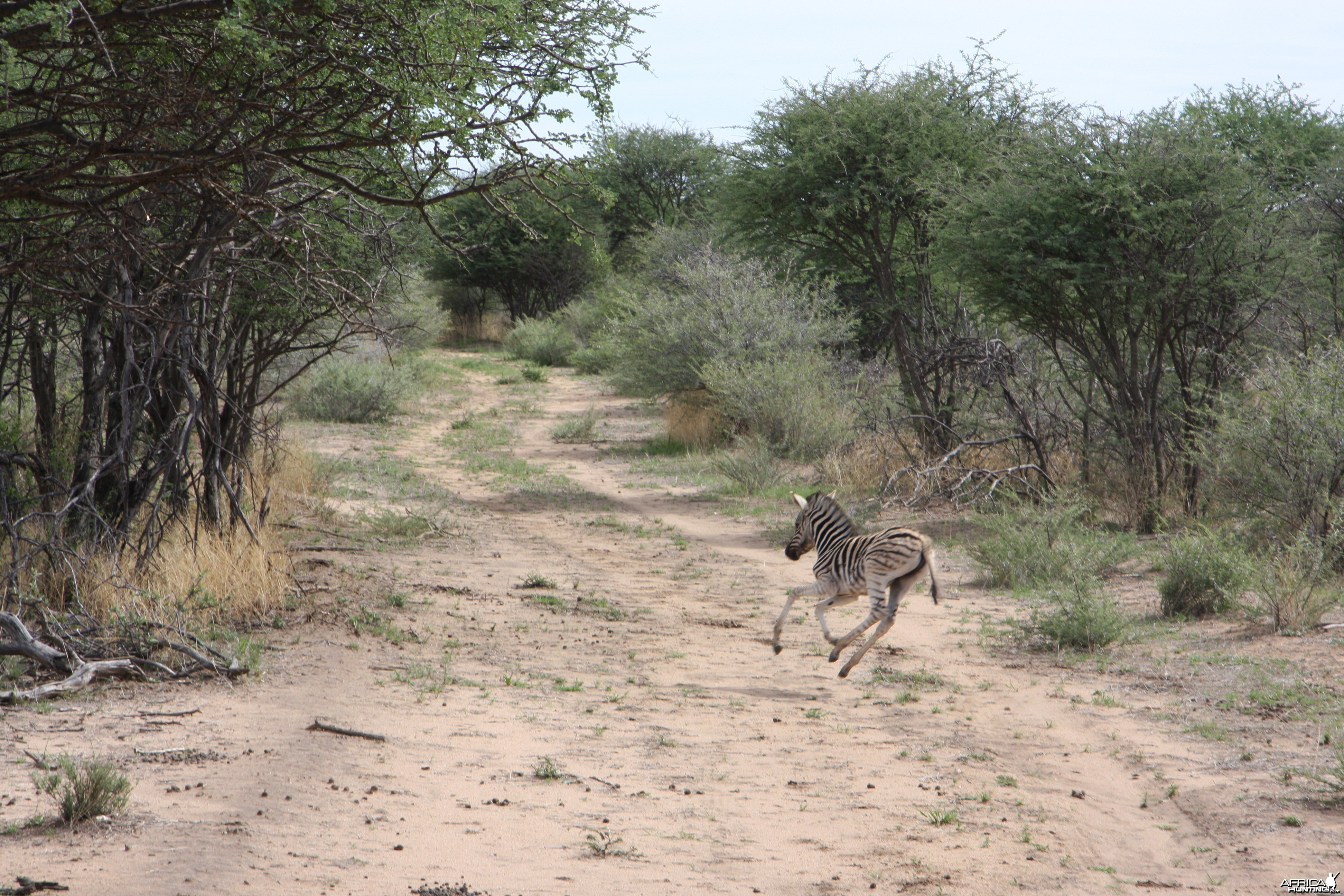 Young Zebra Namibia