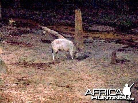 Incredible White Bongo