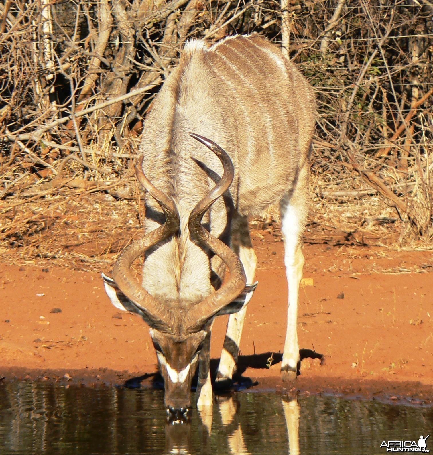 Funny figure 8 kudu