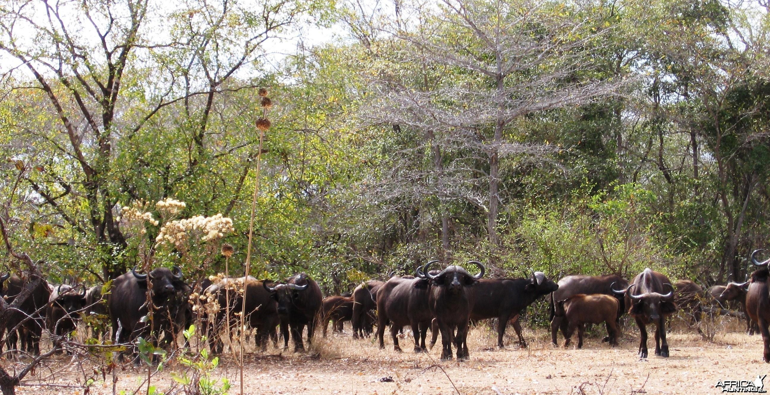 Calling buff in Tanzania