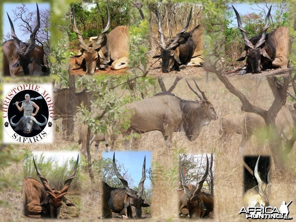 Lord Derby Eland - Cental Africa