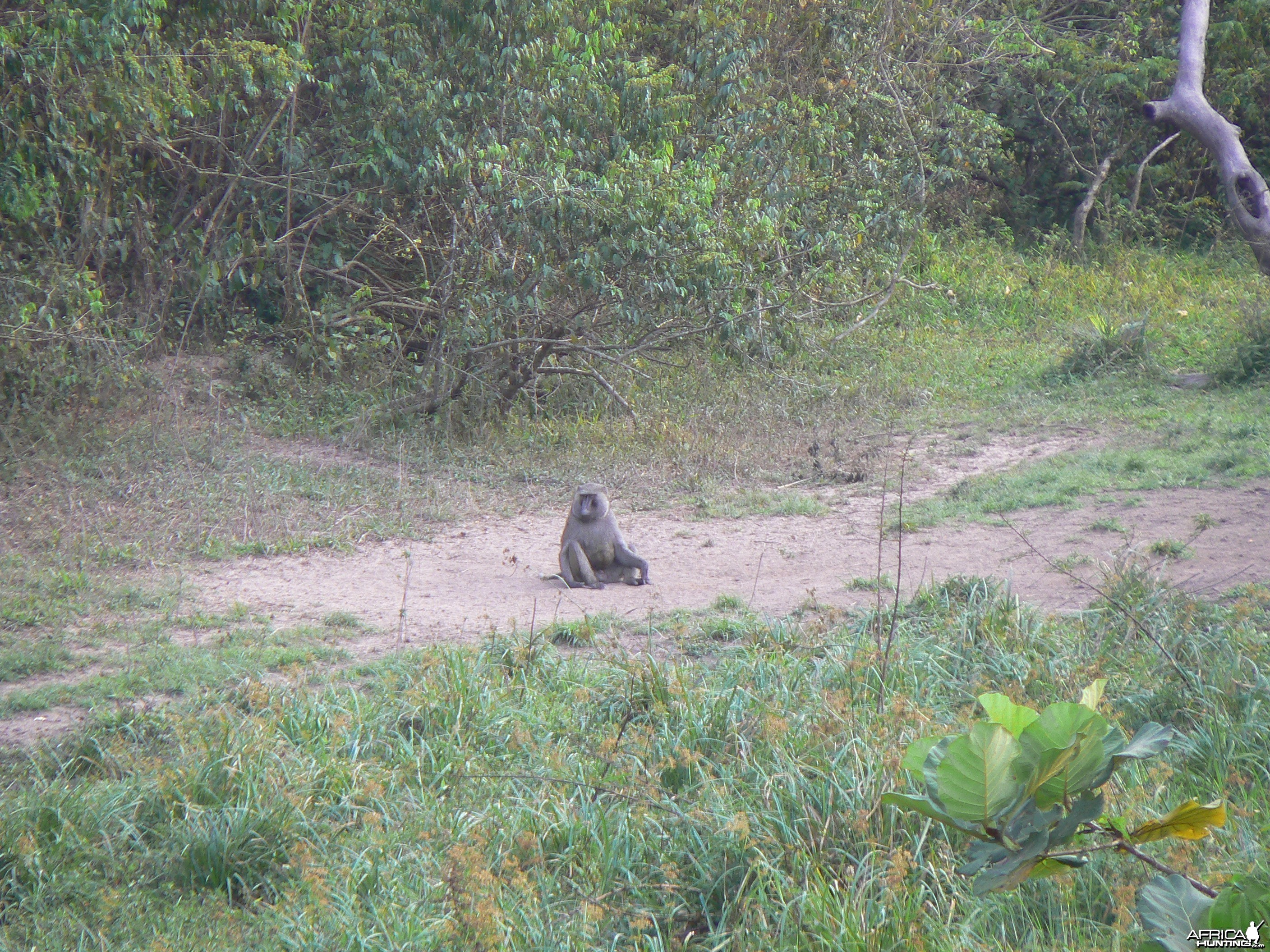 Baboon Central African Republic