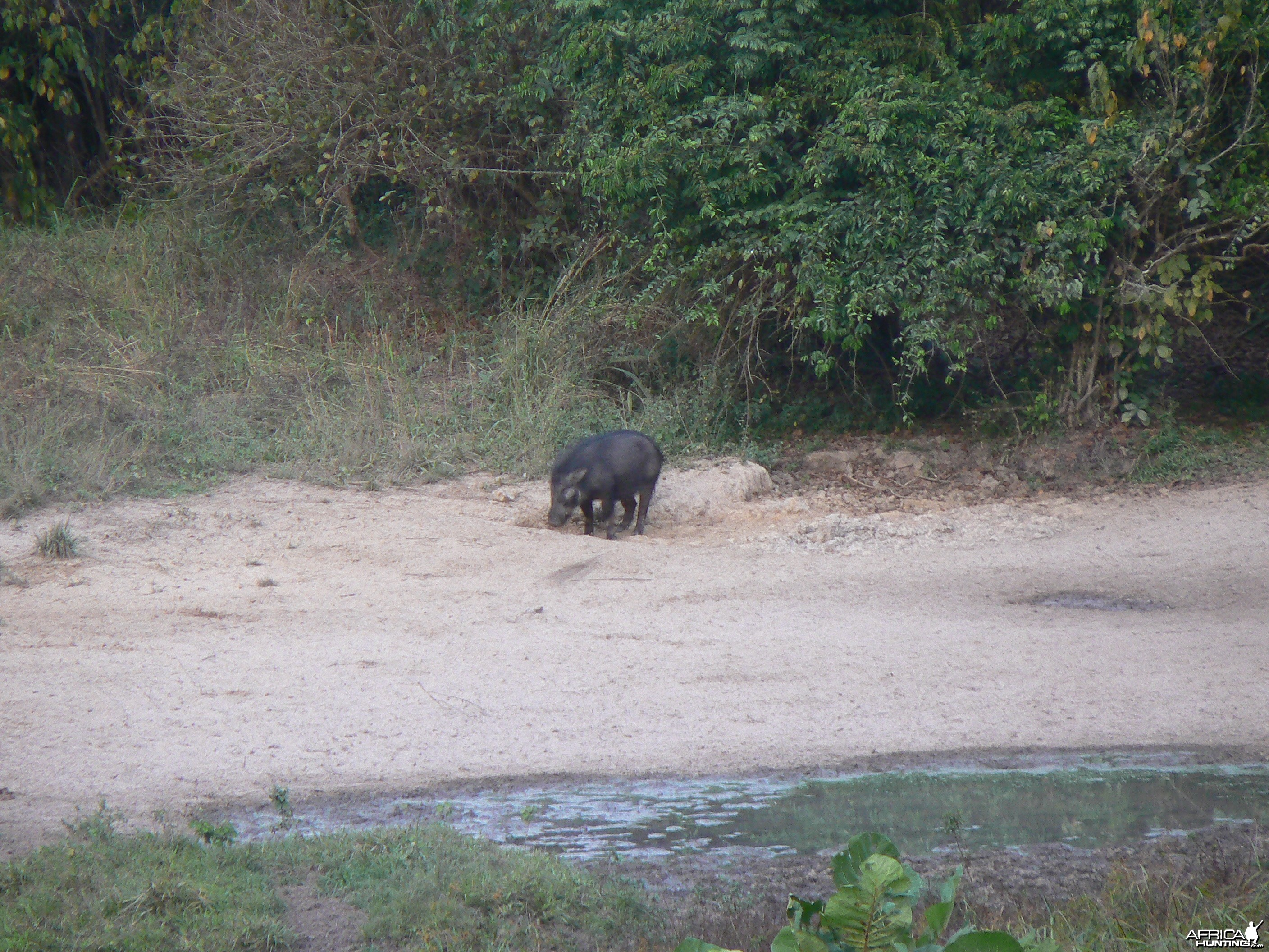 Giant Forest Hog Central African Republic