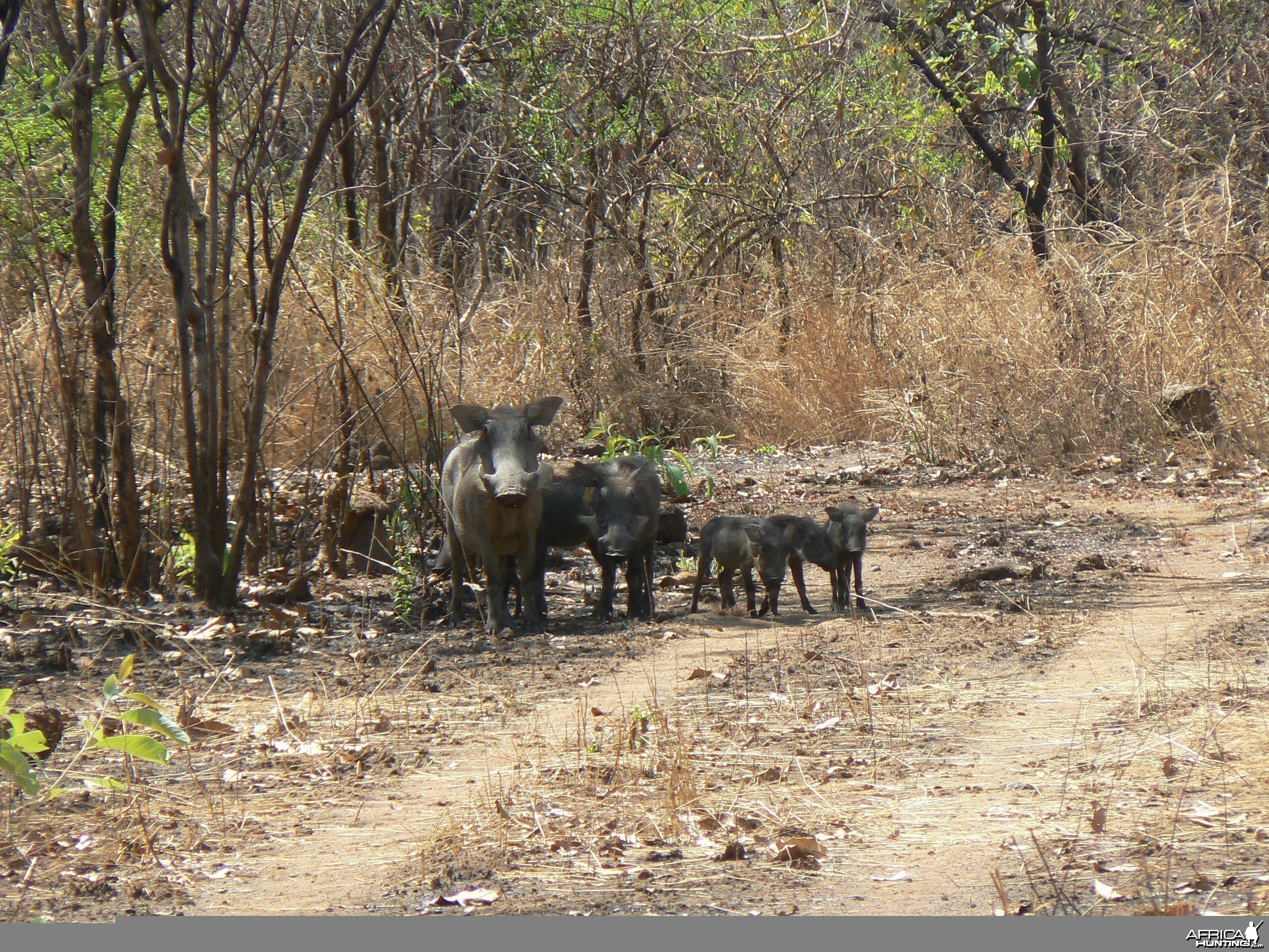 Warthogs Central African Republic