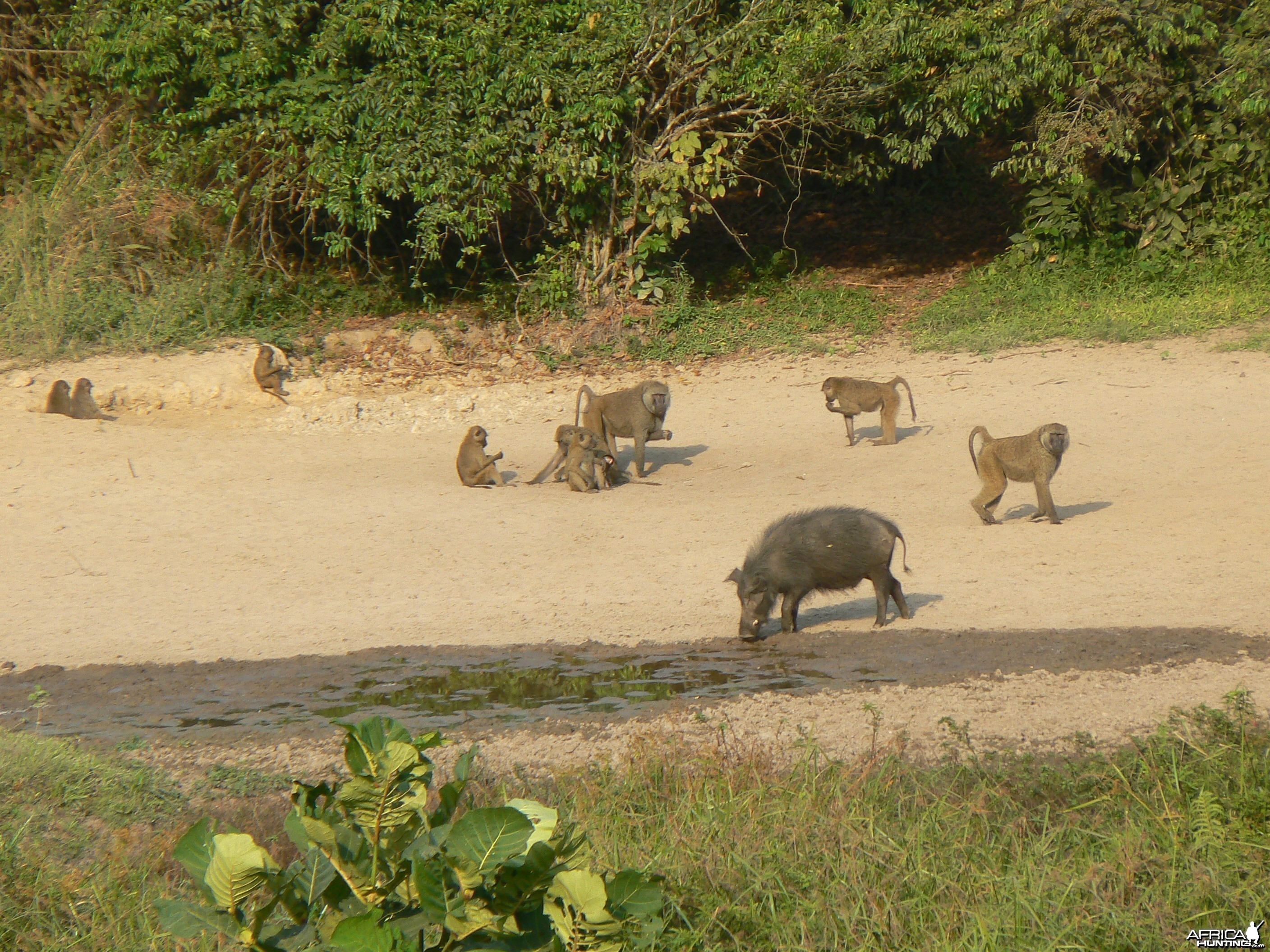 Giant Forest Hog and Baboon Central African Republic