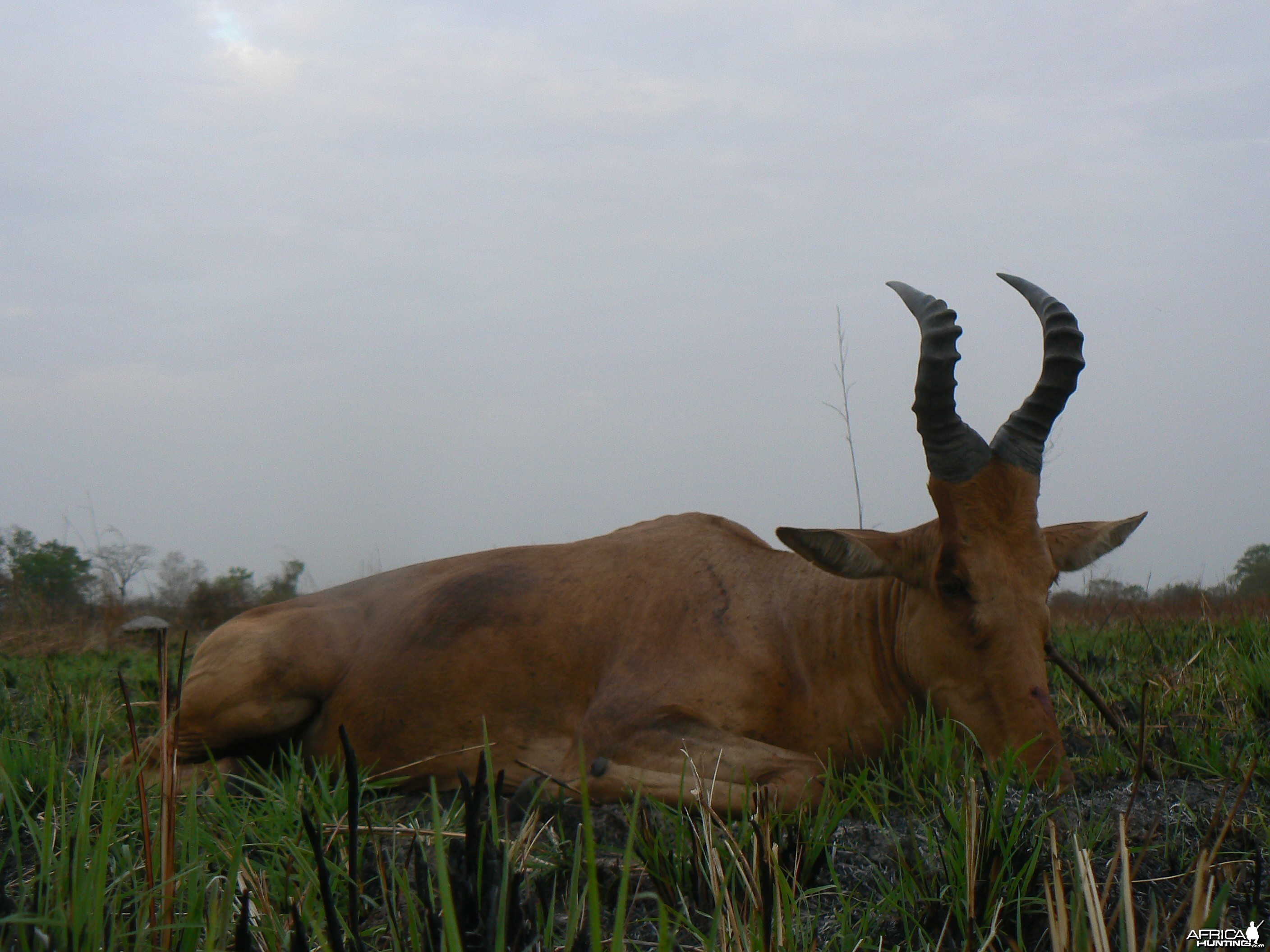 Lelwel hartebeest taken in CAR
