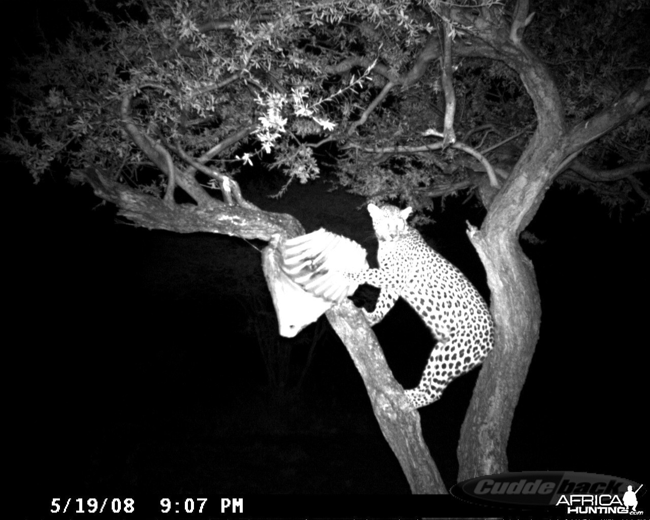 Leopard on Bait at Ozondjahe Safaris Namibia