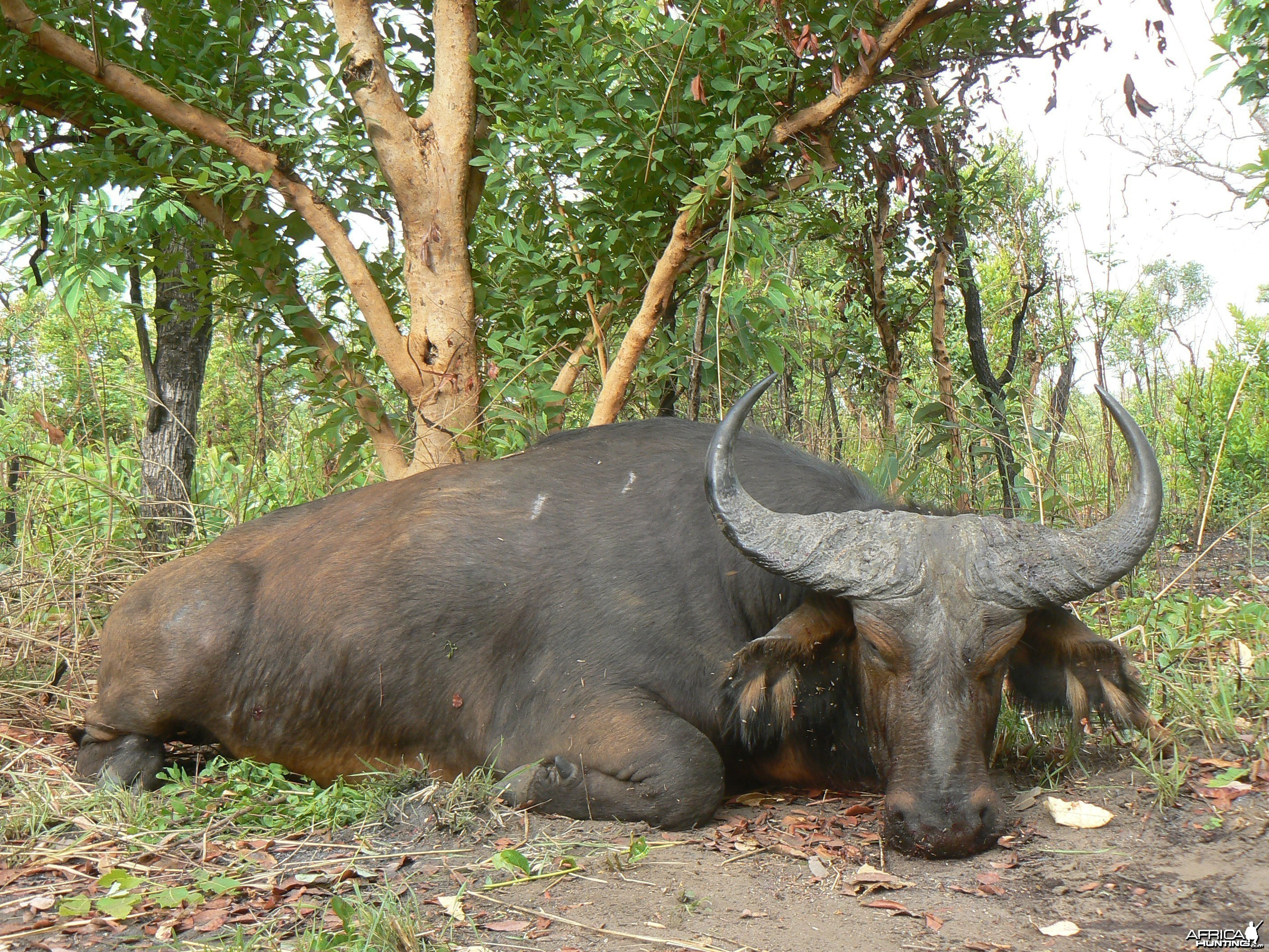 Buffalo bull from Central African Republic